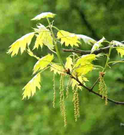 liście wiosną